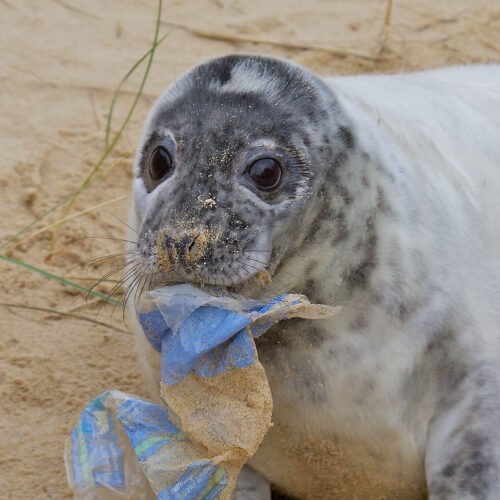 Seal eating plastic